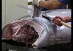 Zpracování tuňáků