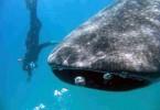 Velrybí žralok osobně (fotka průvodce)
