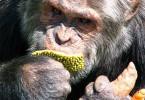 Postarší šimpanz