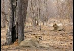 Lví rodinka
