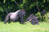 A GORILLA FAMILY IN THE CONGO