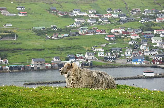 Zpívající ovce?